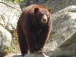 A local bear