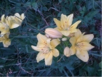 Pale Yellow Lilies