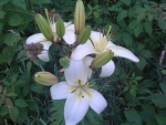 White Wild Lilies