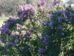 Lilac Bush 2012