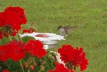 Hummingbird Feeding & Geraniums