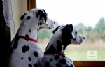Dogs by the Window